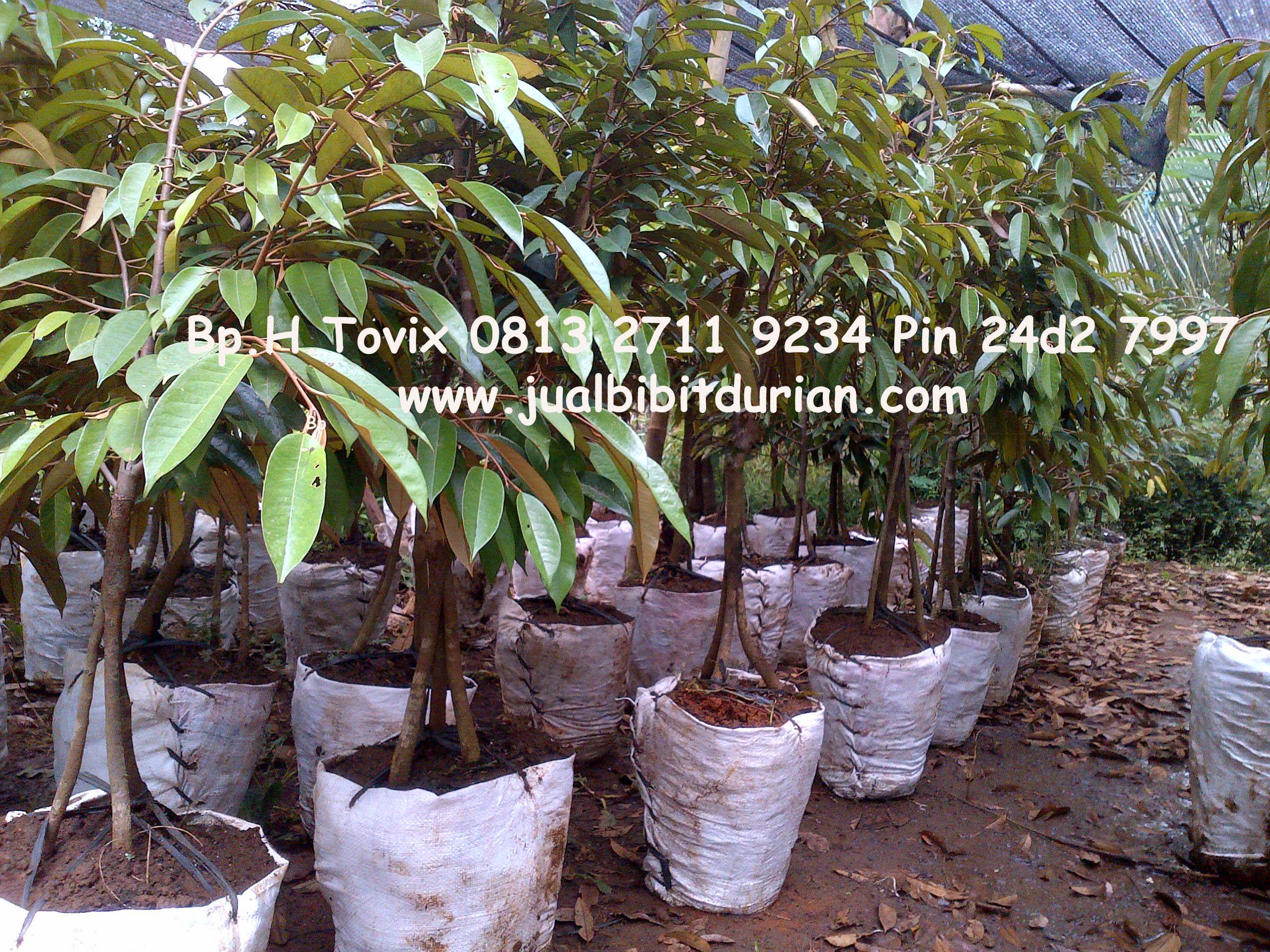 Jual Bibit Durian Bawor Banyumas