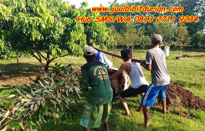 Bibit Durian Bhineka Bawor Banyumas