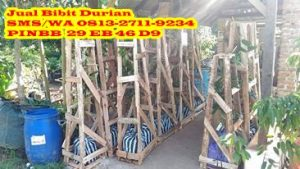 Bibit Durian Musang King Asli
