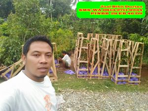 Jual Bibit Durian Musang king Asli