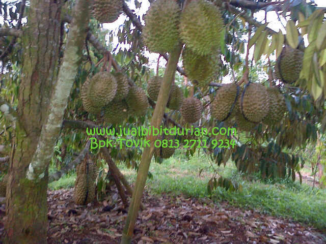 Bibit Durian Bawor Kerinci