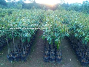 Bibit Durian Musangking Semarang