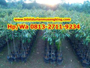 Jual Pohon Durian Sudah Berbuah