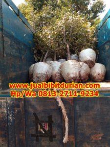 HpWa 0813-2711-9234, Bibit Durian Bawor Madiun H. Tovix (3)