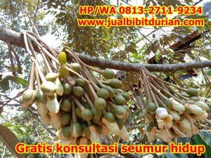 Jual Pohon Durian Siap Berbuah