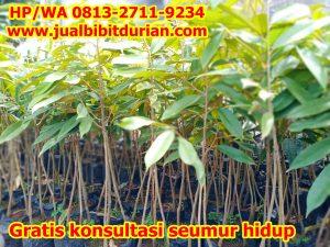 Jual Pohon Durian Dongkelan