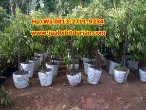 Jual Pohon Durian Siap Buah